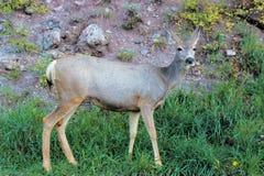 吃草在黑峡谷的路旁边鹿 免版税库存图片