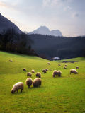 吃草在巴斯克地区的绵羊 库存照片
