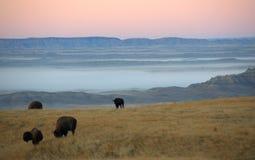 吃草在黎明的水牛城 库存照片