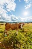 吃草在晴朗的领域的母牛牧群  免版税库存照片