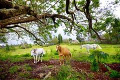 吃草在紫色兰花楹属植物树下的三匹美丽的马开花在毛伊海岛,夏威夷上 库存照片