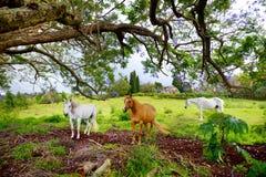 吃草在紫色兰花楹属植物树下的三匹美丽的马开花在毛伊海岛,夏威夷上 免版税库存图片