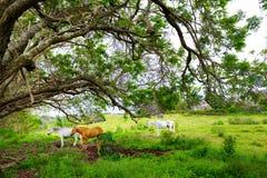 吃草在紫色兰花楹属植物树下的三匹美丽的马开花在毛伊海岛,夏威夷上 免版税库存照片
