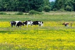 吃草在黄色开花的草甸的母牛 库存图片