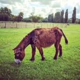 吃草在绿色牧场地的母Poitou驴 库存图片