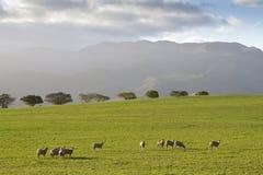 吃草在绿色牧场地的绵羊 免版税库存图片