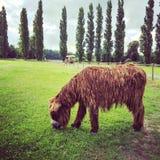 吃草在绿色牧场地的Poitou驴 免版税库存图片
