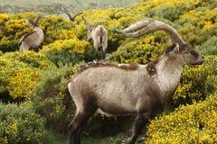吃草在黄色笤帚的西班牙高地山羊 图库摄影