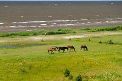 吃草在绿色茂盛的牧场的五匹马在海附近 库存照片