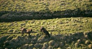 吃草在绿色草甸的美丽的马的鸟瞰图 飞行在熔岩荒野的直升机在冰岛 股票录像