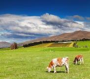 吃草在绿色领域的母牛 库存照片