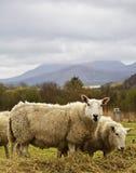 吃草在紫花苜蓿的对羊毛内衣的高地绵羊 免版税库存图片