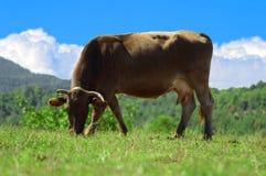 吃草在绿草和蓝天的布朗母牛 免版税图库摄影