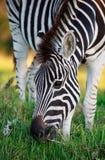 吃草在绿草的平原斑马 免版税图库摄影