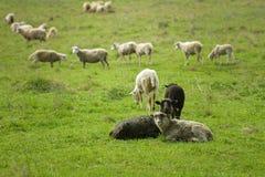 吃草在绿草的绵羊群  库存照片