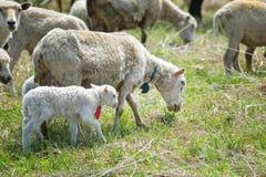 吃草在绿草的绵羊群  免版税库存照片