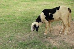 吃草在绿草背景的花斑绵羊  免版税图库摄影