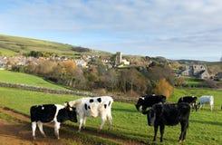 吃草在Abbotsbury英国英国多西特村庄的母牛  免版税库存照片