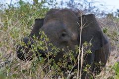 吃草在bushland中的大象在宇田Walawe国家公园在斯里兰卡 库存照片