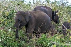 吃草在bushland中的大象在宇田Walawe国家公园在斯里兰卡 库存图片