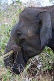 吃草在bushland中的大象在宇田Walawe国家公园在斯里兰卡 免版税库存图片