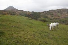 吃草在Connemara国家公园内的两匹马和一只驹 免版税库存照片