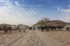 吃草在cunene的偏远地区的母牛和野牛 安格斯 闹事 免版税库存图片