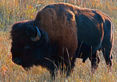 吃草在Custer国家公园的北美野牛水牛城 免版税库存照片