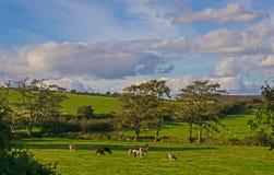 吃草在Dartmoor,英国的牛 免版税库存图片