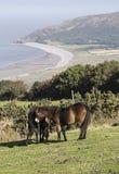 吃草在Exmoor的Exmoor小马在Porlock附近 库存图片