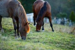 吃草在farme的两匹马 库存图片