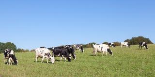 吃草在fie的黑白霍尔斯坦奶牛全景  免版税库存图片