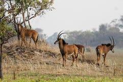 吃草在Kafue全国pa的一个小组幼小貂羚 免版税库存照片