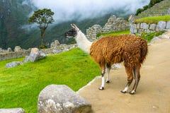 吃草在Machu Picchu-印加人废墟的喇嘛在安地斯,库斯科省地区 免版税库存图片