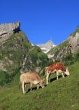 吃草在Mt Santis下的母牛 免版税库存图片