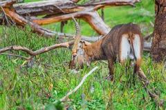 吃草在Naivasha湖(肯尼亚)的岸的羚羊 免版税库存照片