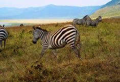 吃草在Ngorongoro火山口,坦桑尼亚的斑马 免版税库存图片