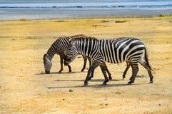 吃草在ngorongoro的三匹斑马 免版税库存图片
