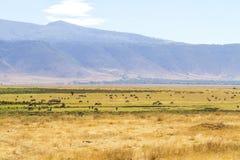 吃草在Ngorongoro的野生动物牧群  免版税库存照片