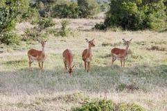 吃草在Ol Pejeta管理大草原草原,肯尼亚的美丽的飞羚 免版税库存图片