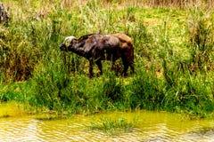 吃草在Olifants河的河岸的水牛在克留格尔国家公园 库存图片