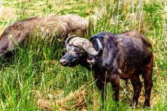 吃草在Olifants河的河岸的水牛在克留格尔国家公园 库存照片
