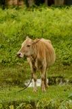 吃草在opengrass领域的被驯化的母牛 库存图片