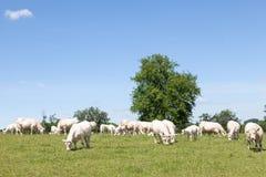 吃草在pastu的白色夏洛来牛肉用牛繁殖群  免版税库存照片