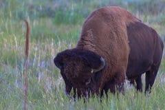 吃草在prarie的北美野牛草 库存照片