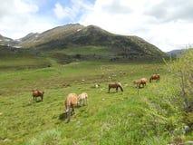 吃草在Pyrénées的马 库存图片