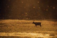 吃草在Ranthambore老虎储备的水鹿鹿 免版税库存照片