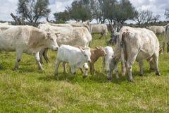 吃草在Salor乡下,卡塞里斯,西班牙的夏洛来牛牛 库存图片