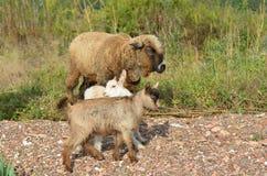 吃草在Voevoda北部岸的绵羊和两只山羊在俄语海岛上咆哮  免版税图库摄影