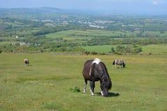 吃草在Whitchurch共同性,达特穆尔国立公园,德文郡,英国的达特穆尔小马 库存图片